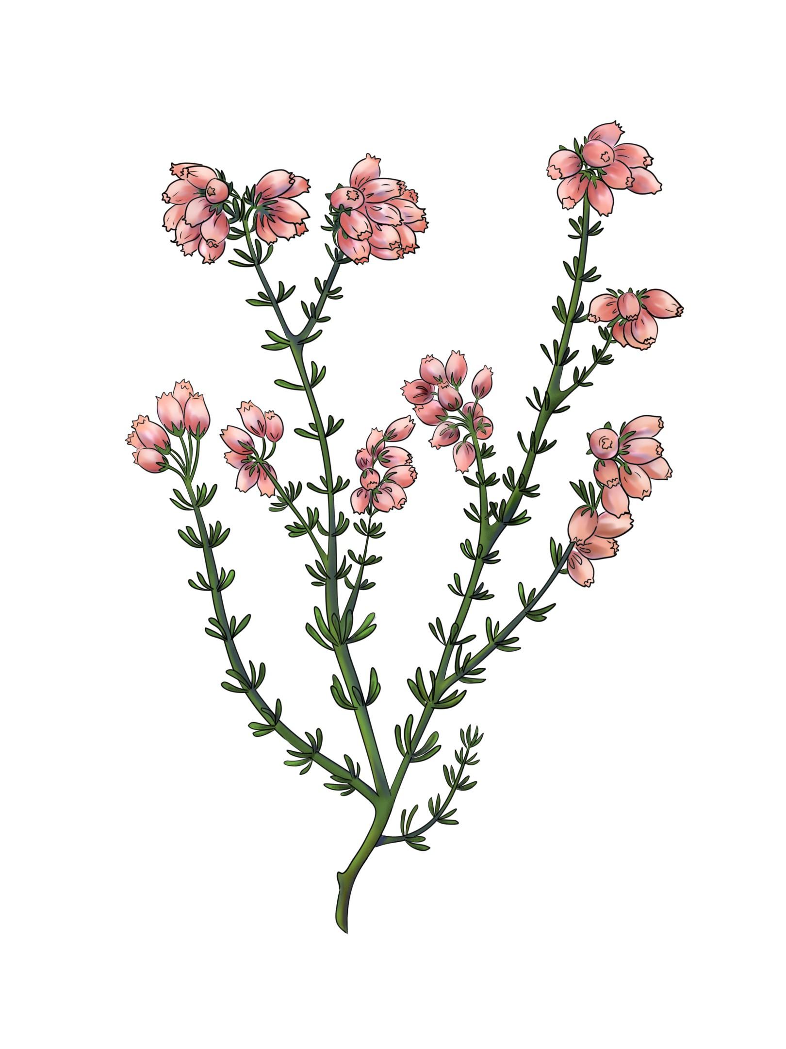 'Erica Tetralix' botanical illustration