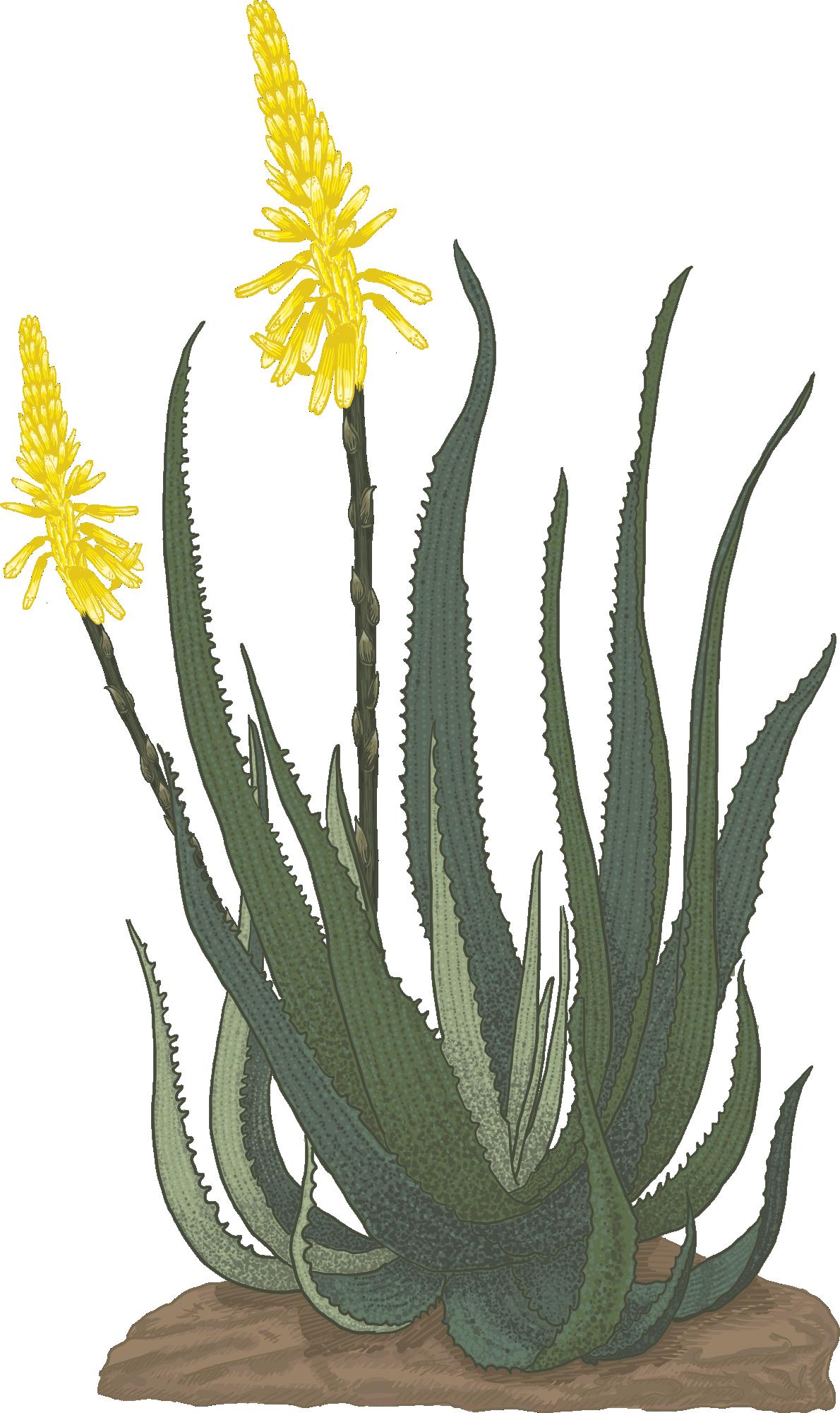 Hand drawn Botanical illustration