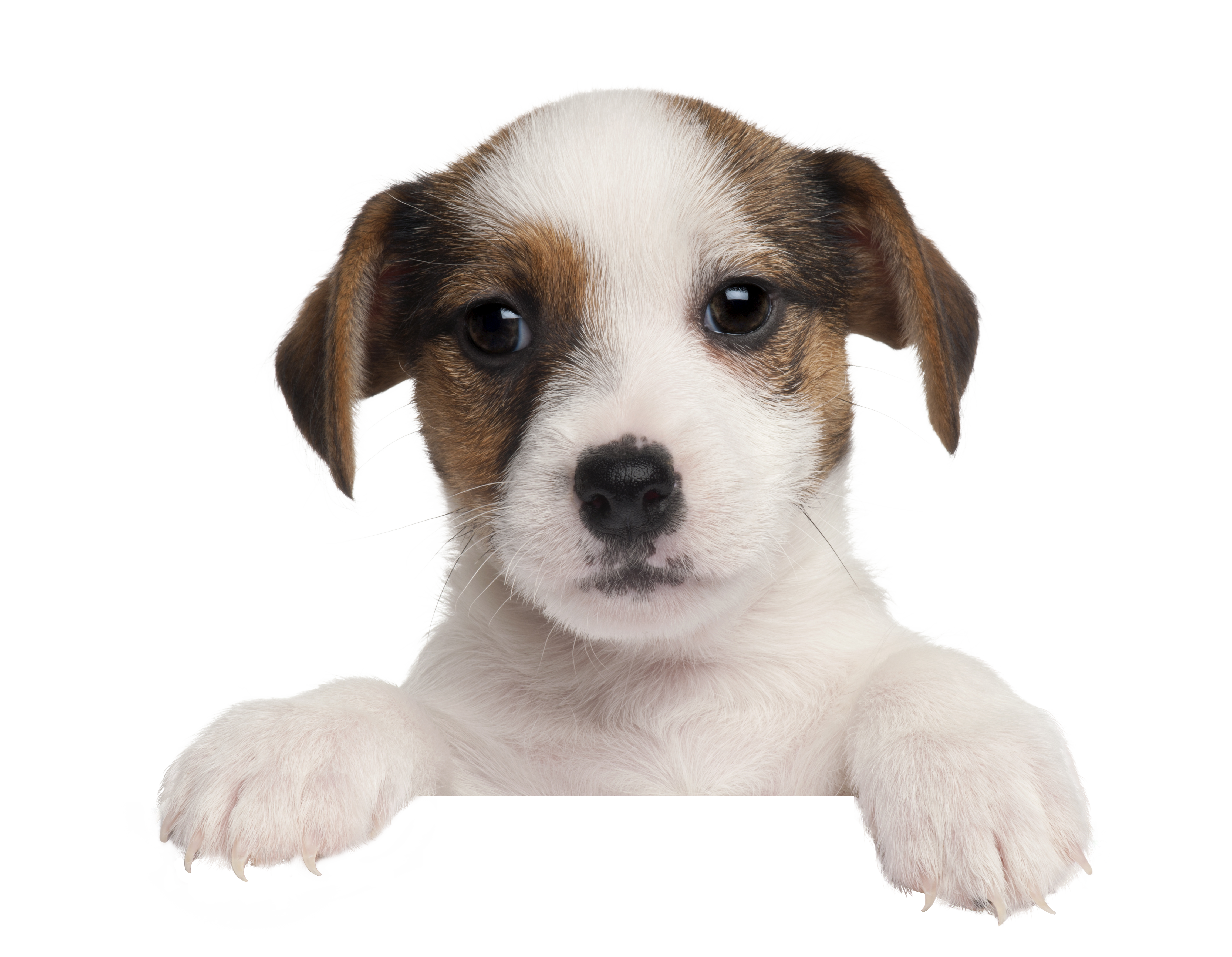 Remove background and prepare high resolution puppy image