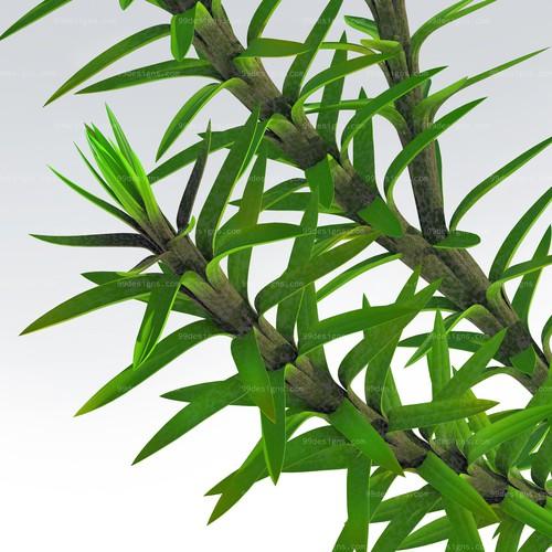 Create a Huperzine plant image.