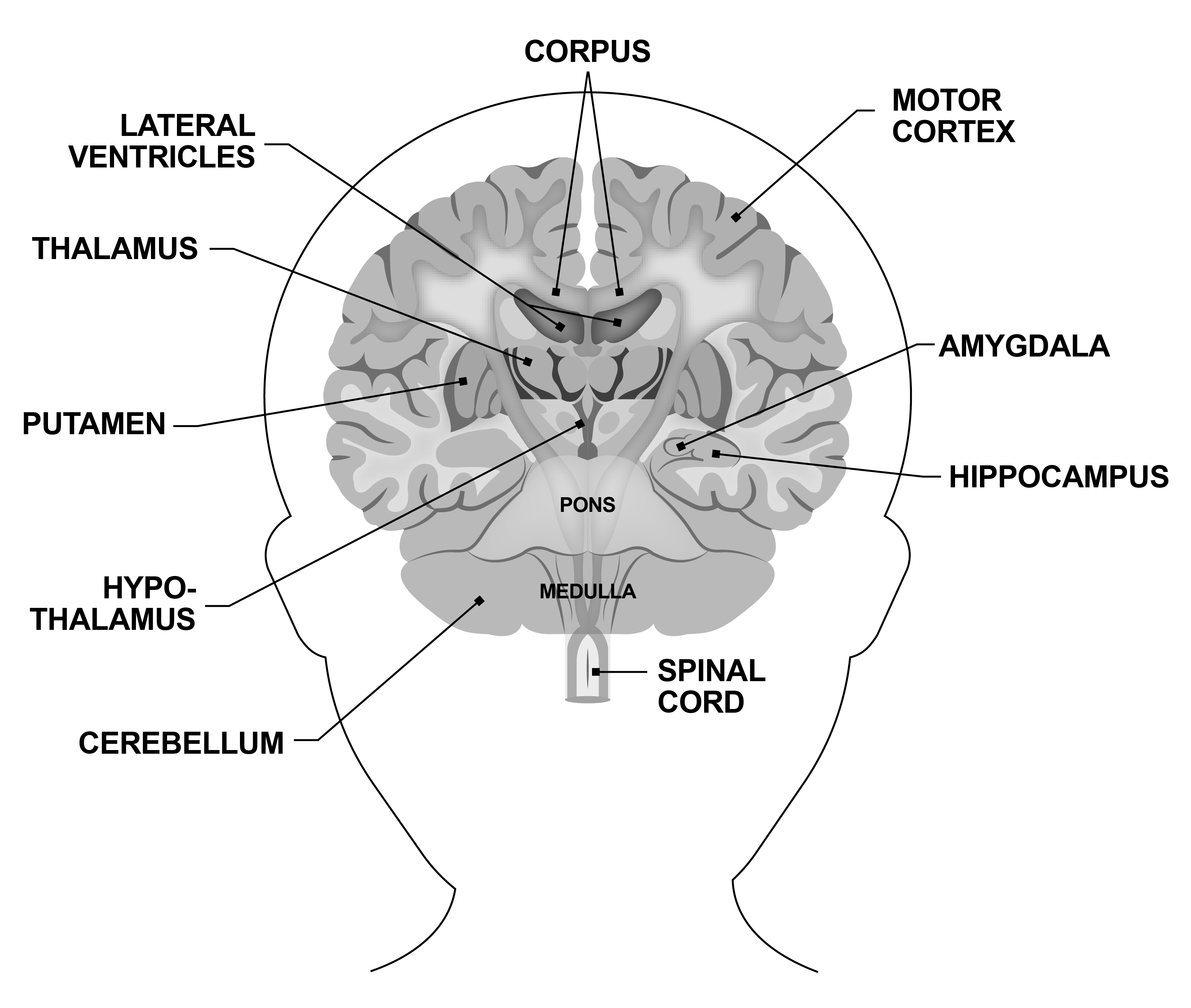 brain anatomy - I need them in color and grey scale.