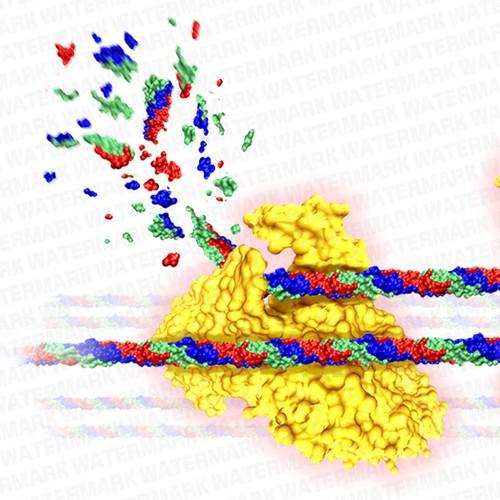 Protease degradation over uncrosslinked collagen molecule