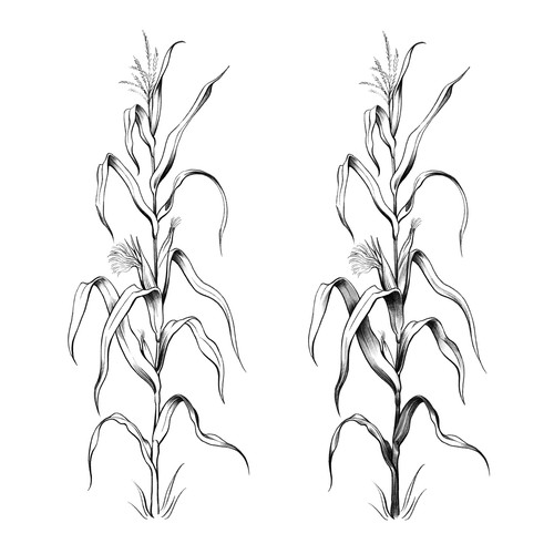 Corn plant illustration