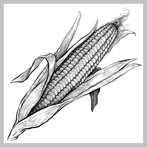 Illustration of corn