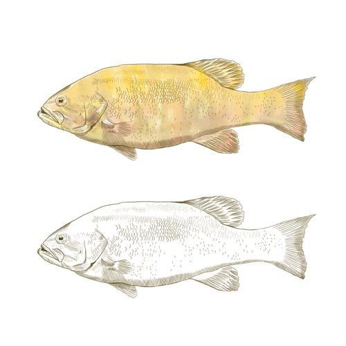 Realistic fish illustration