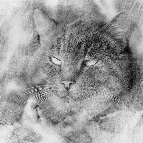 Black and white pencil drawing cat