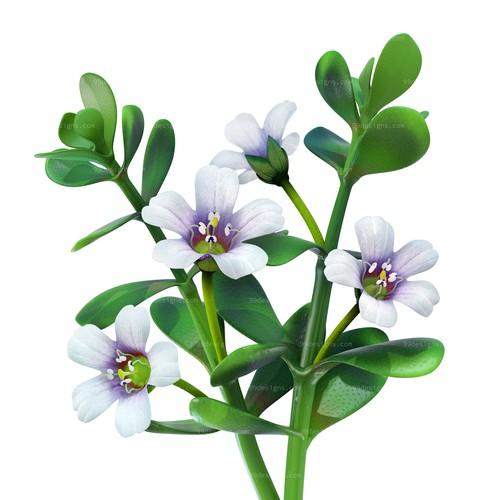 Create a Bacopa Monnieri plant image.