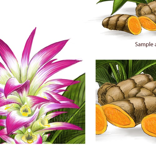 turmeric-curcumin illustration